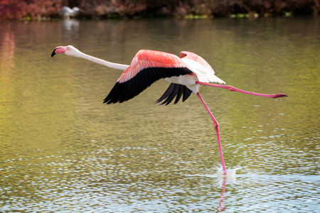 adult kenya: Flamingo is taking off from the pond