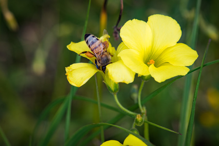 attracts: Oxalis weed oxalidaceae attracts honey bees to gather sweet pollen