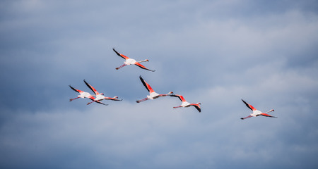 Several flamingos fly high in the cloudy sky
