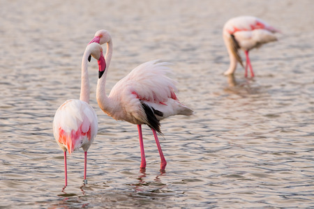 africa kiss: Two flamingos flirt at sunset on the pond