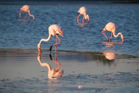 Flamingos searching for food at sunset on the pond Standard-Bild