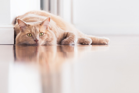 Cat lying on the floor with reflection - color version