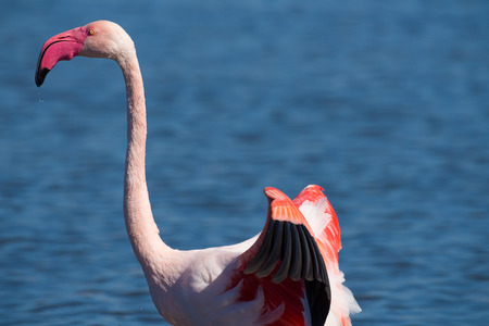 flaps: Flamingo flaps its wings