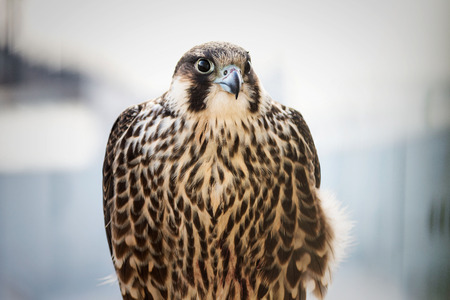Close up of a hawk Stock Photo