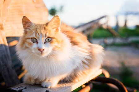 curiously: Female stray cat watching curiously at sunset