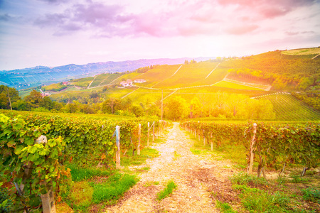 adelaide: View of a vineyard in Langhe, Piedmont, Italy at sunset in backlight