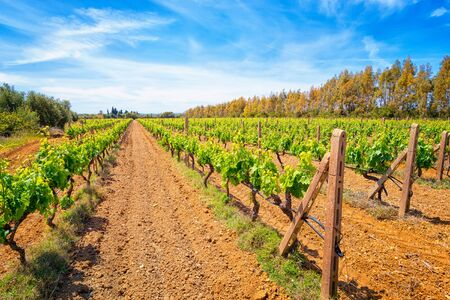 adelaide: View of a vineyard in south of Sardinia , Italy in spring
