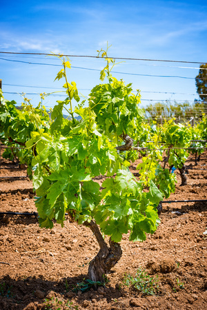 wine road: Close up of grape seedlings in spring Stock Photo