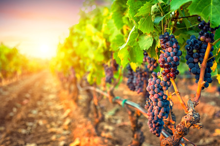 Bunches of grapes in the rows of vineyard at sunset Standard-Bild