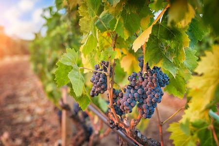 Bunches van druiven in de wijngaard bij zonsondergang