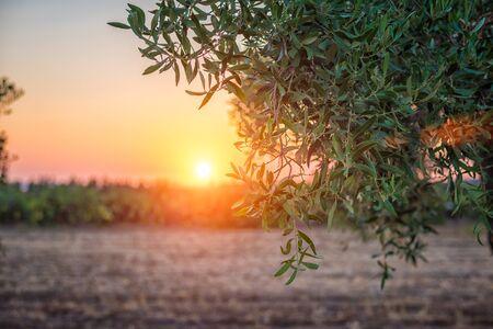 Tramonto attraverso alberi di ulivo - concentrarsi sull'albero