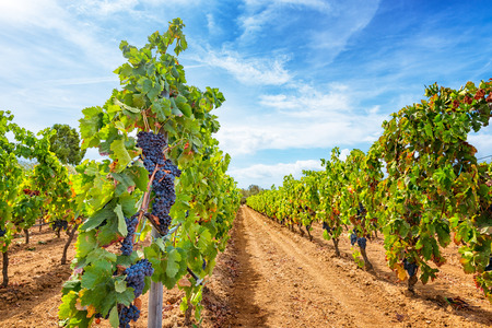 Wijngaarden in perspectief in de herfstoogst. Rijpe druiven in de herfst.