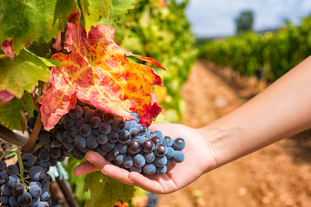 Close up of girl hand holding and showing a bunch of red wine grapes in a vineyard.
