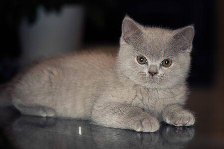 British Shorthair kitten 스톡 콘텐츠 - 132089433