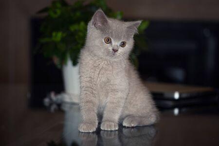 British Shorthair kitten 스톡 콘텐츠 - 132090385