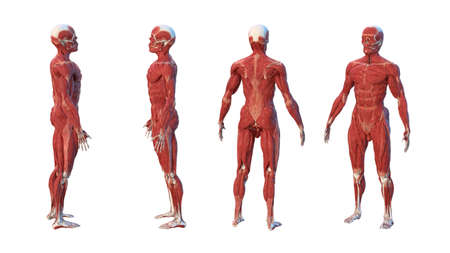3d rendered medically accurate illustration of a mans muscle system in four angles, on white background. 스톡 콘텐츠