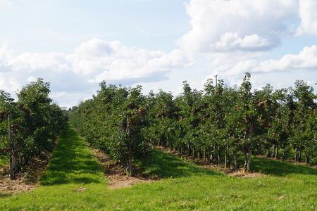 Scenery of  an apple farm