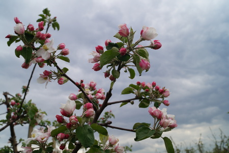 Blooming Appletrees and Cherry Trees