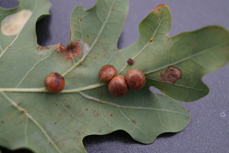 Cynips quercusfolii gall balls on oak leaf