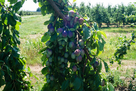 plum tree with many fruits