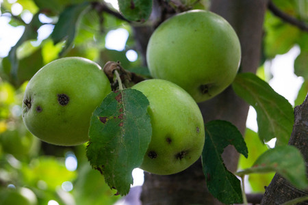 Fungal infection of apples