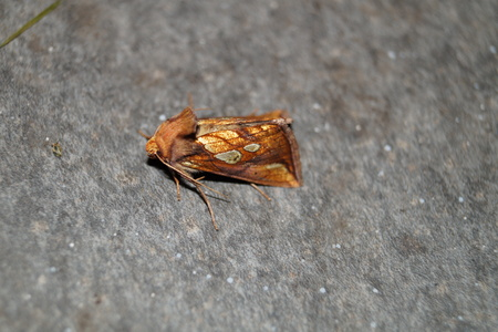 Phymatopus hecta - Heather moth