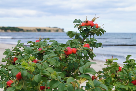 rose hip or dog rose