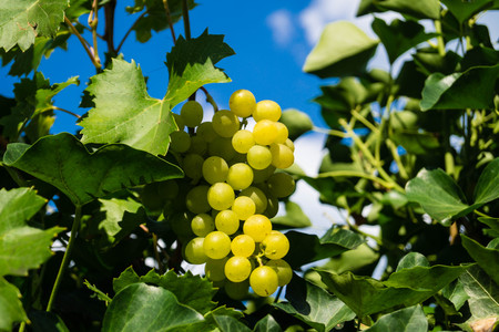whitevine leaves and grapes