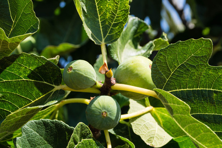 Fig tree with fruits 写真素材