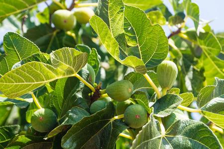 Feigenbaum mit Früchten Standard-Bild