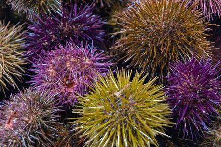 sea urchins on a fish market in cadiz