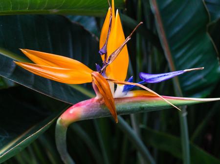 Strelitzia the paradise bird flower