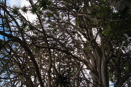 Dracaena Marginata the Dragon tree