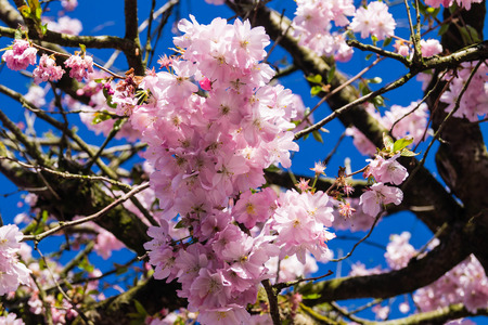 Flowering cherry trees in the old country near Hamburg Germany