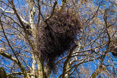 hemiparasitic mistletoe balls in a birch tree