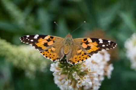 Butterfly Vanessa Cardui or Cynthia Cardui in the Garden Foto de archivo - 128299418