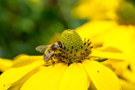 De insecten verzamelen stuifmeel in de tuin Stockfoto