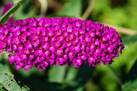 Blooming Buddleja davidii the Butterfly tree or butterfly bush Reklamní fotografie - 128299845