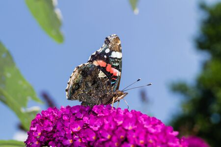 Blooming Buddleja davidii the Butterfly tree or butterfly bush Archivio Fotografico - 128299914