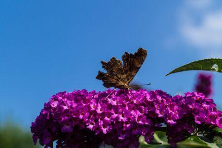 Blooming Buddleja davidii the Butterfly tree or butterfly bush