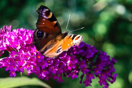 Blooming Buddleja davidii the Butterfly tree or butterfly bush Archivio Fotografico - 128300238
