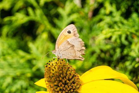 Maniola jurtina butterfly