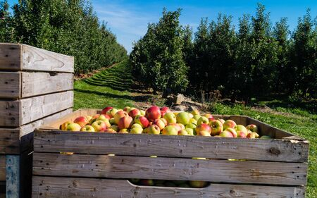 Apple harvest in the old country Hamburg Stok Fotoğraf