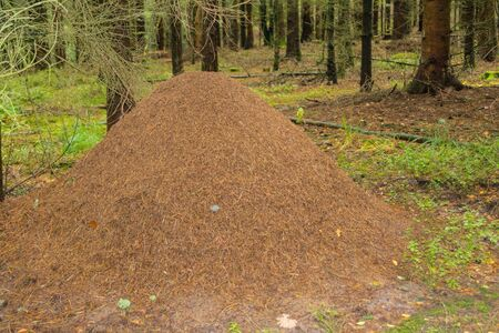 Anthill of the red forest ants formica