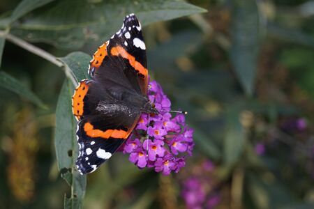 Buddleja davidii the butterfly bush Zdjęcie Seryjne