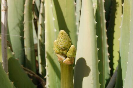 Aloe vera cactus canary islands spain Stock Photo
