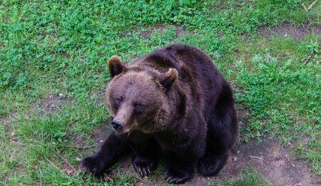 Brown Bear in the Wildlife park black mountains Reklamní fotografie