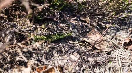 Lizard Lacerta agilis at the nature reserve Fischbeker Heide in Hamburg