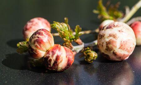 Cynips quercusfolii gall balls on oak leaf