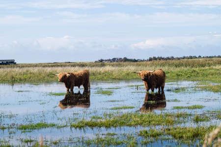 Long haired Scottish Highland cattle